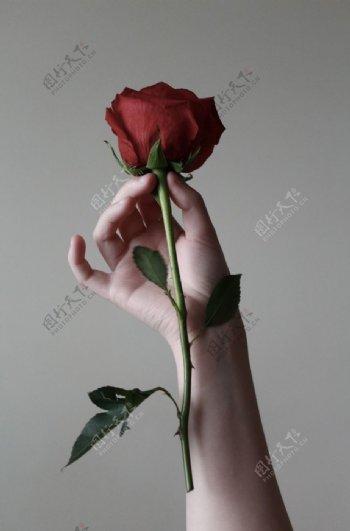 月季玫瑰红玫瑰欧月花朵图片