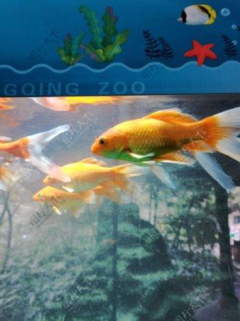 观赏鱼鱼类图片