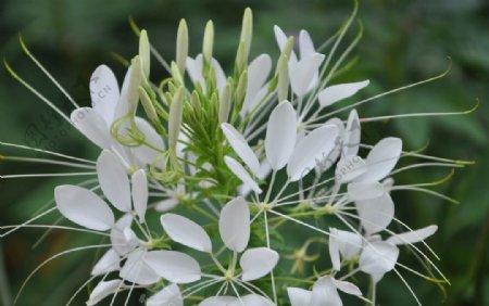 一年生花卉白色的醉蝶花图片
