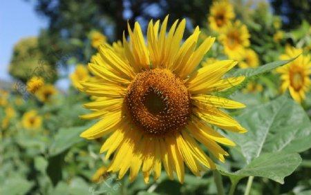 沐浴阳光的向日葵图片
