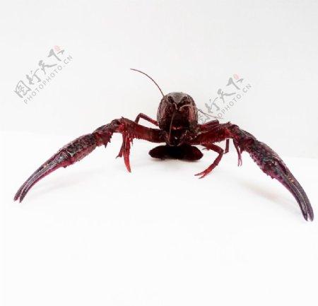 威猛小龙虾图片